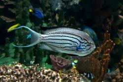 Lamarck's Angelfish, Genicanthus lamarck - tropical sea and ocean fish