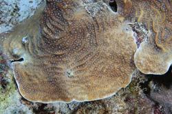 Lamarcks sheet coral (Agaricia lamarcki) with open polyps underwater in the caribbean sea of Bonaire