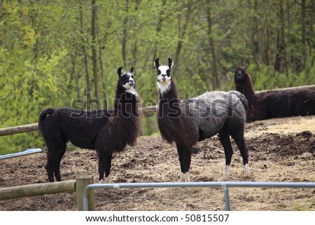 Lamas in a farm.