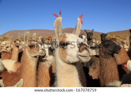 Stock Photo Lamas in Andes Mountains, Bolivia