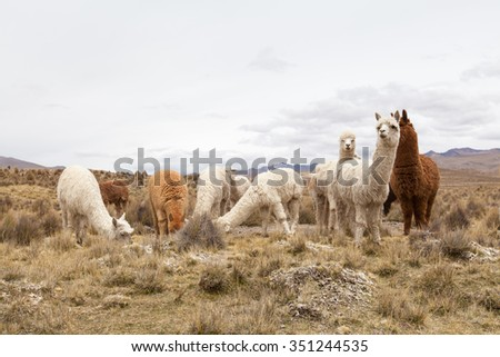 lamas in Andes,Mountains, Peru #351244535