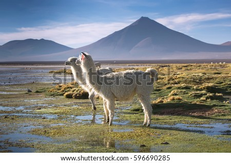 Lamas on the Colorada lagoon with flamingos on the plateau Altiplano, Eduardo Avaroa Andean Fauna National Reserve, Bolivia