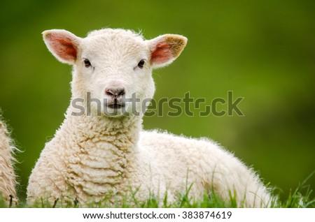 lamb #383874619