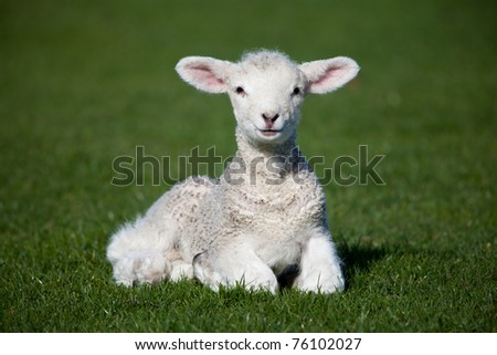 Lamb - stock photo