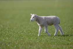 Lamb at a meadow in Holland