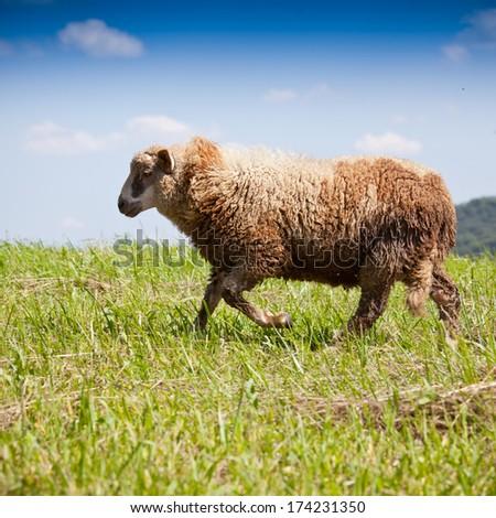 Lamb grazing in a green field