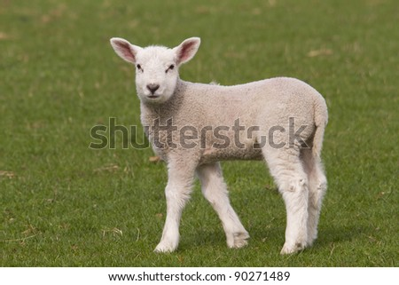 Lamb grazing in fresh pastures