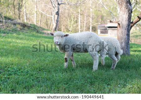 lamb grazing in rural field, sheep grazing on a green field