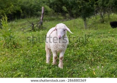 lamb, grazing on the grass