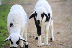 Lamb is Peeing, Lambs in Nature, Two Lambs, Lamb Looking,