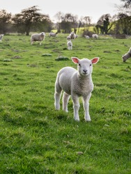 Lamb isolated in green field flock behind