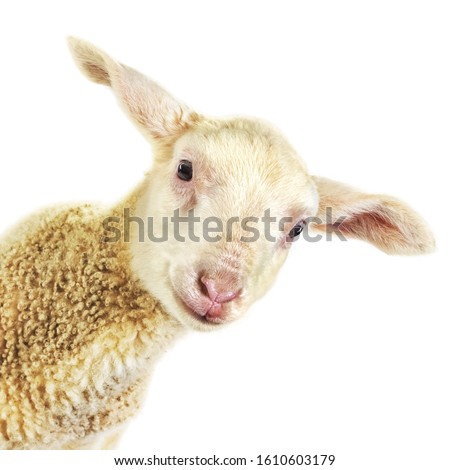 Lamb Looking into the Camera, Isolated on White Сток-фото ©