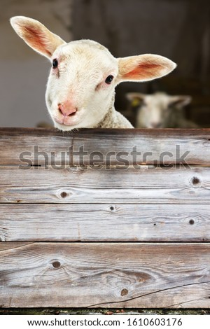 Lamb Looking out of the Barn Сток-фото ©