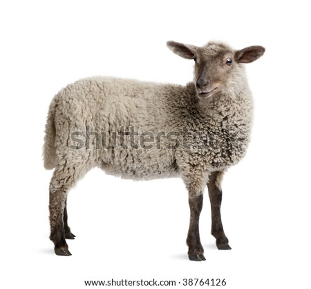Lamb, 5 months old, standing in front of white background, studio shot
