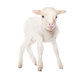 Lamb standing in front of a white background