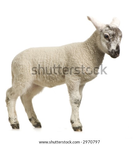 Lamb standing up, isolated on a white background