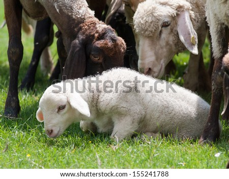 Lamb surrounded with sheep