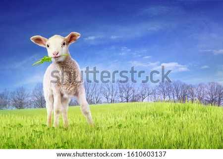 Lamb with Grass in the Mouth Standing on the Meadow Сток-фото ©