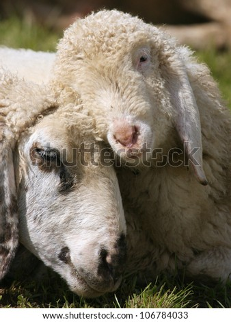 Lamb with mother sheep