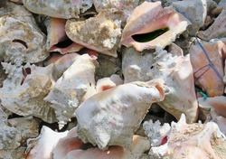 Lambi shells or queen conch shells background. Pink snail shells pattern. Pile of seashells close up. French West Indies.