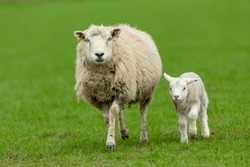 Lambing time in the Yorkshire Dales, England, UK and a mother sheep walks in green pastureland with her newborn lamb at her side.  Close up.  Horizontal.  Copyspace.