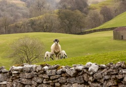 Lambing time in the Yorkshire Dales, UK, A typical rural scene in Springtime with a Swaledale ewe facing forward in green pastureland and two lambs suckling.  Horizontal.  Space for copy.