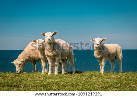 Lambs and Sheep on the dutch dike by the lake IJsselmeer,Spring views , Netherlands