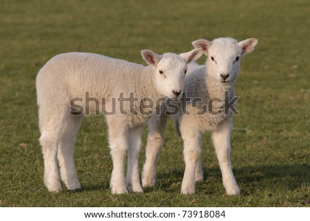 Lambs grazing in fresh pastures