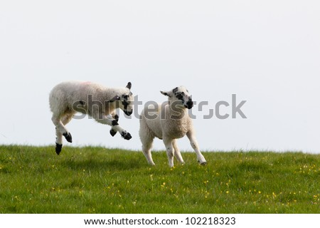 Lambs leaping for joy in the spring sunshine in the UK - stock photo