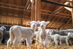 Lambs looking at camera in the wooden barn. In background group of sheep animals standing and eating on the farm.