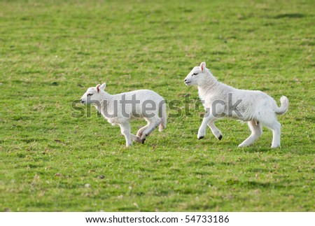 Lambs (Ovis aries) Run Through Pasture - panning and some motion blur