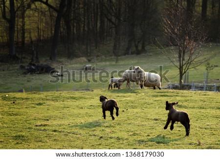 Running-lamb Images and Stock Photos - Avopix com
