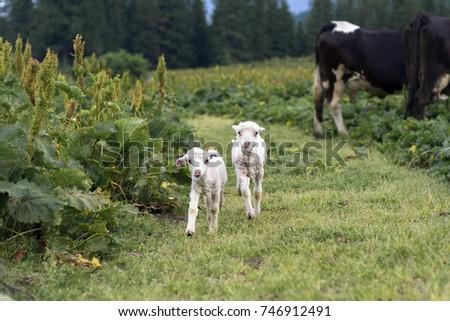 Lambs. The lambs are running. Small lambs. #746912491