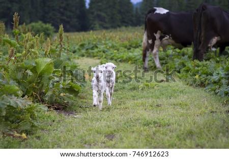 Lambs. The lambs are running. Small lambs. #746912623