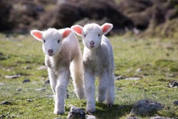 Lambs, WAINUIOMATA COAST, NEW ZEALAND