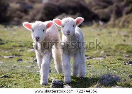 Lambs, WAINUIOMATA COAST, NEW ZEALAND #722744356