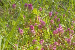 Lamium Purpureum flowers in grassland in springtime - annual eatable purple dead-nettle flowers for herbaceous plants in Europe