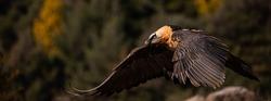lammergeier flying in the pyrennes