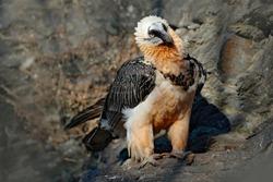 Lammergeier or Bearded Vulture, Gypaetus barbatus, detail portrait of rare mountain bird, sitting on the rock, animal in stone habitat, Morocco. Rare bird in the nature habitat.