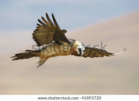 Lammergeyer or Bearded Vulture (Gypaetus barbatus) in flight looking for prey in South Africa