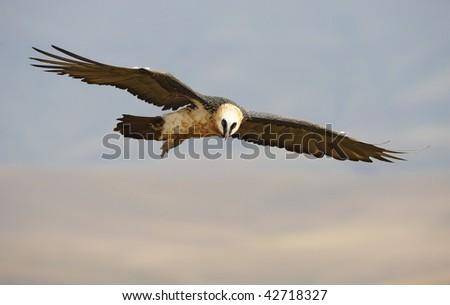 Lammergeyer or Bearded Vulture (Gypaetus barbatus) in flight looking for prey in South Africa
