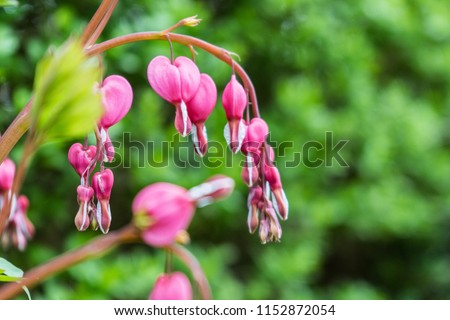 Lamprocapnos spectabilis - a popular ornamental plant with a blossom in the shape of a heart
