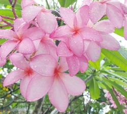Lan Thom, or Plumeria, is a perennial flower in the Fintem family or the Lan Thom family.