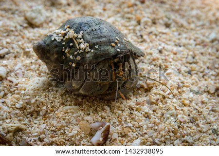 Lancian crab hermit on the beach of the Indian Ocean looking for her shell. Sri Lanka, Asia #1432938095