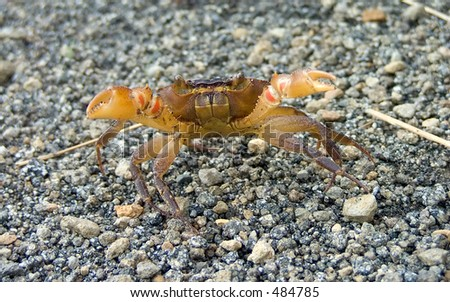 Land crab from Costa Rica