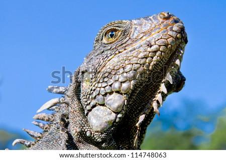 Land Iguana close up head with blue skyes