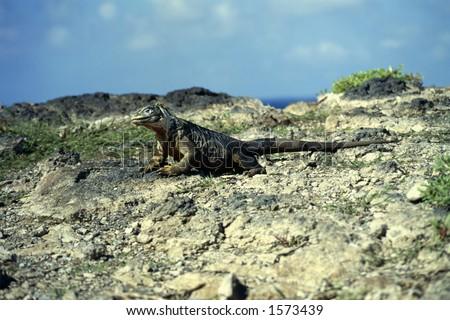 Land Iguana (3) - Galapagos Islands