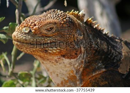 Land iguana, North Seymour Island, Galapagos