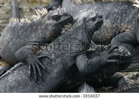 Land Iguanas, Galapagos, Ecuador