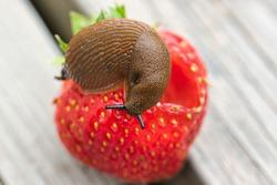 Land slug close up, on top of the strawberry fruit, feeding, garden pests concept